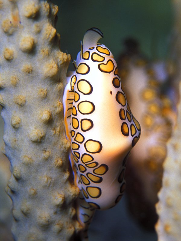 Flamingo Tongue Snail in Profile