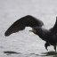 double-crested-cormorant_MG_5096