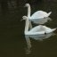 A Pair Of Swans At Sun Pier,Chatham,Kent