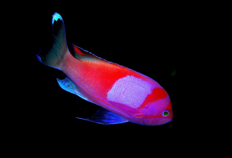 Beautiful Anthias