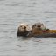 Sea Otters (Enhydra lutris)  (Mom with pup) at Target Rock near Morro Rock in Morro Bay, CA 08 August 2009