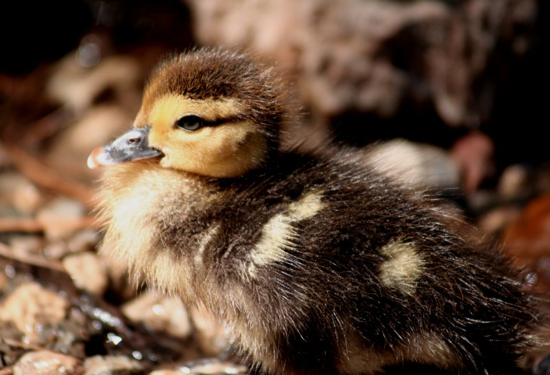 lil duckling
