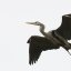 great-blue-heron-morro-bay-rookery_12