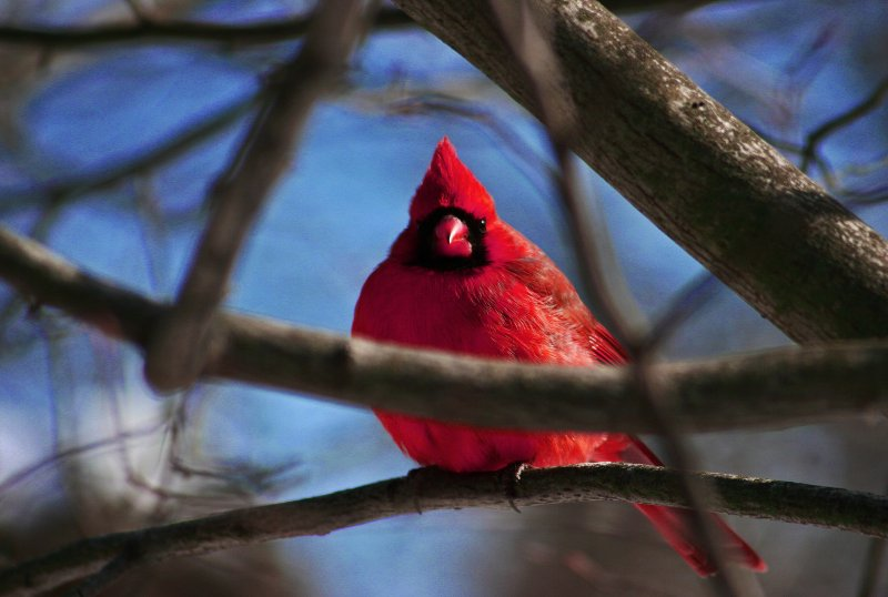 Here's to Cardinal Puff for the First Time Today.