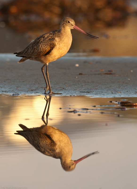 Marbled Godwit, Limosa fedoa, a large shorebird in a lagoon at sunset  (tighter crop)
