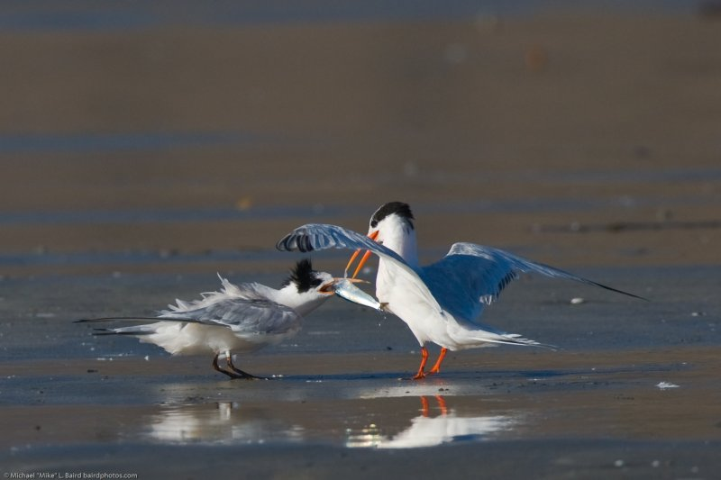 CORRECTED ID: Royal Tern (Thalasseus maximus) with a fish in beak feeding youngster