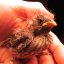 1st Baby Bird (Finch) Rehabber Of The Season