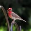 A Purple Finch VS House Finch?