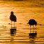 "Two Gulls on the ""golden foil"" of sunset"