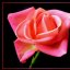 the_pink_rose