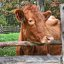 One Sweet Cow