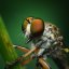 Female Ommatius Robber Fly