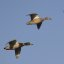 Mallard Ducks in Flight mallard-ducks-in-flight_1