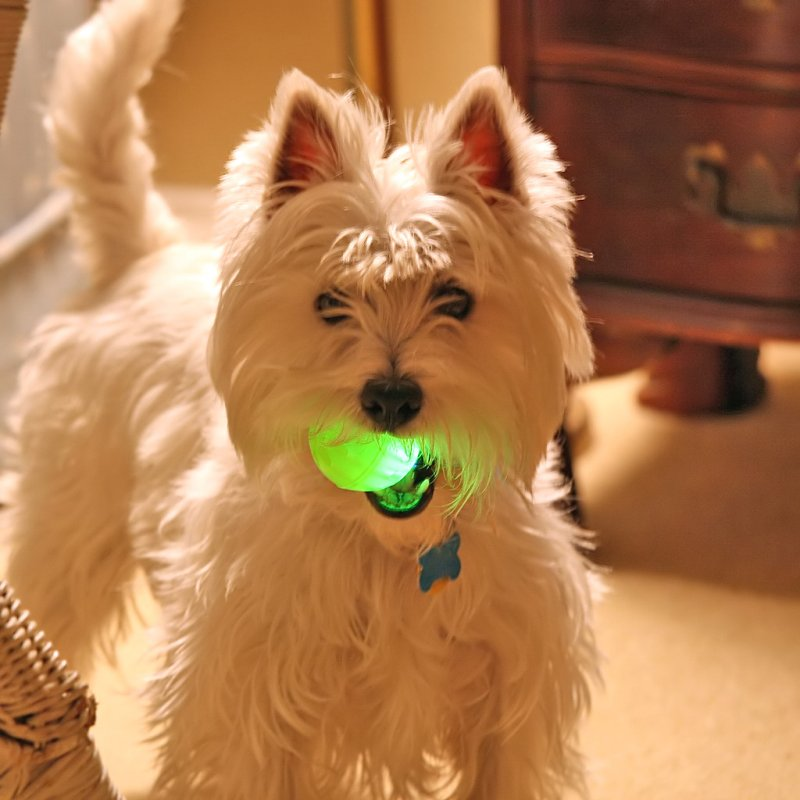 Wee Westie's Nuclear Ball