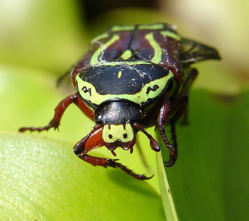 Green and black stag beetle