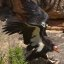 Grand Canyon National Park: California Condor 87_3515