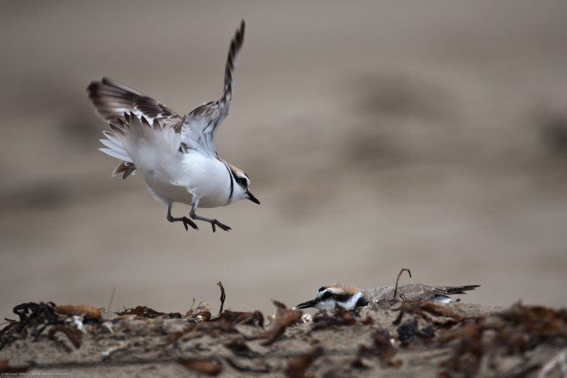 """Western Snowy Plover (Charadrius nivosus) landing flying, while challenging another Snowy Plover - UPDATE 4/2011 Now split as """"Charadrius nivosus"""""""