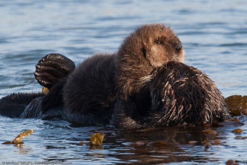 Sea Otter Mother with Pup on Chest Morro Bay CA 14 Dec 2009