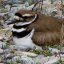 Female Killdeer On Her Nest