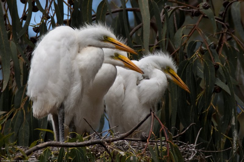 2 of 6 Great Egret (Ardea alba) nest with three chicks at the Morro Bay Heron Rookery