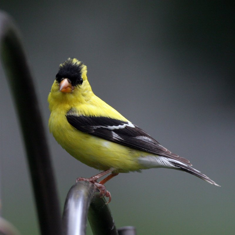 A poser goldfinch