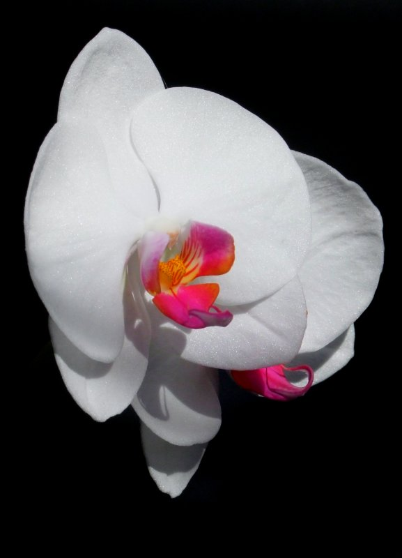 End of the Year Beauty Phalaenopsis