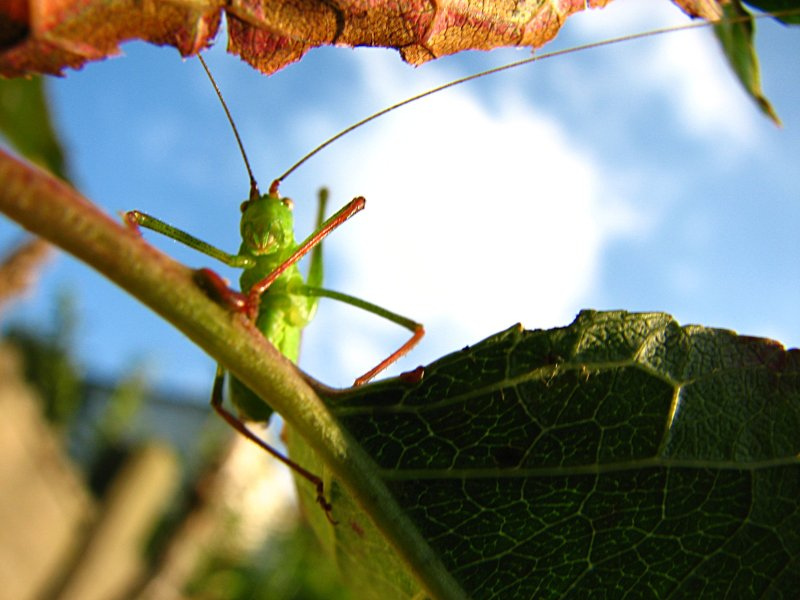 A cricket is looking at you