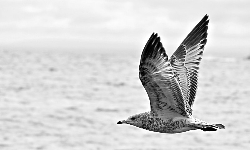 Young Gull in Flight