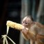Capuchin and sweetcorn