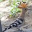 Hoopoe showing up