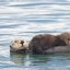 (3rd best of 3) Sea Otter (Enhydra lutris) mother with nursing pup in the Morro Bay harbor
