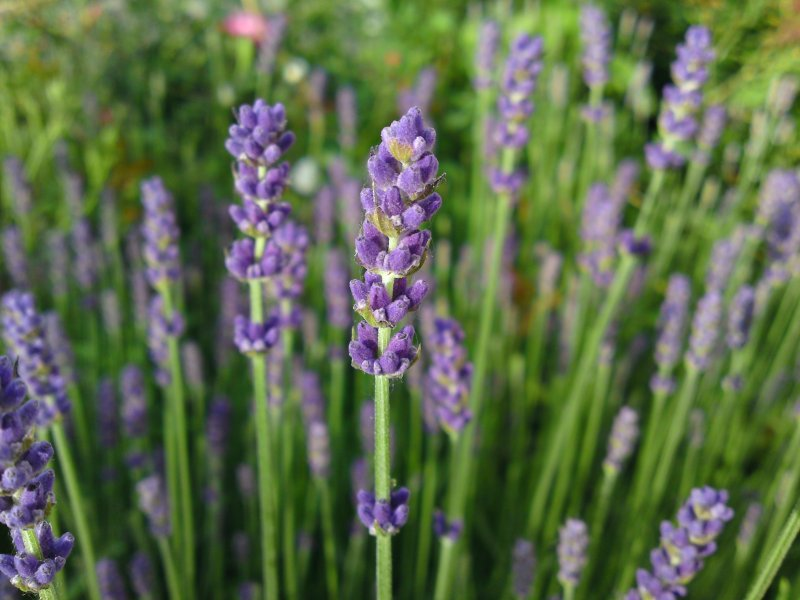 Lonely Lavender
