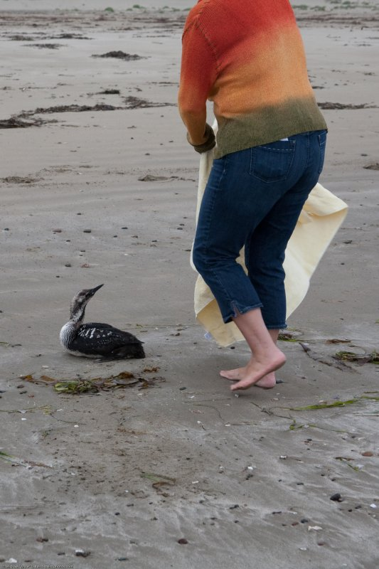 6 of 6 Pacific Loon in distress, rescued by Dani Nicholson of Pacific Wildlife Care, Morro Bay, CA 29 May 2008