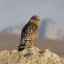 red-shouldered-hawk_1