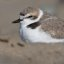 Western Snowy Plover (Charadrius nivosus) birds on Morro Strand State Beach, opposite the Cloisters City Park or the Morro Bay, CA High School, 23 April 2010
