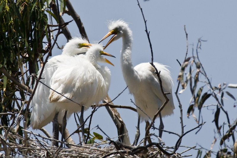(9 of 9) Three Great Egret Chicks in Nest