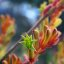 Orange & Yellow Kangaroo Paw