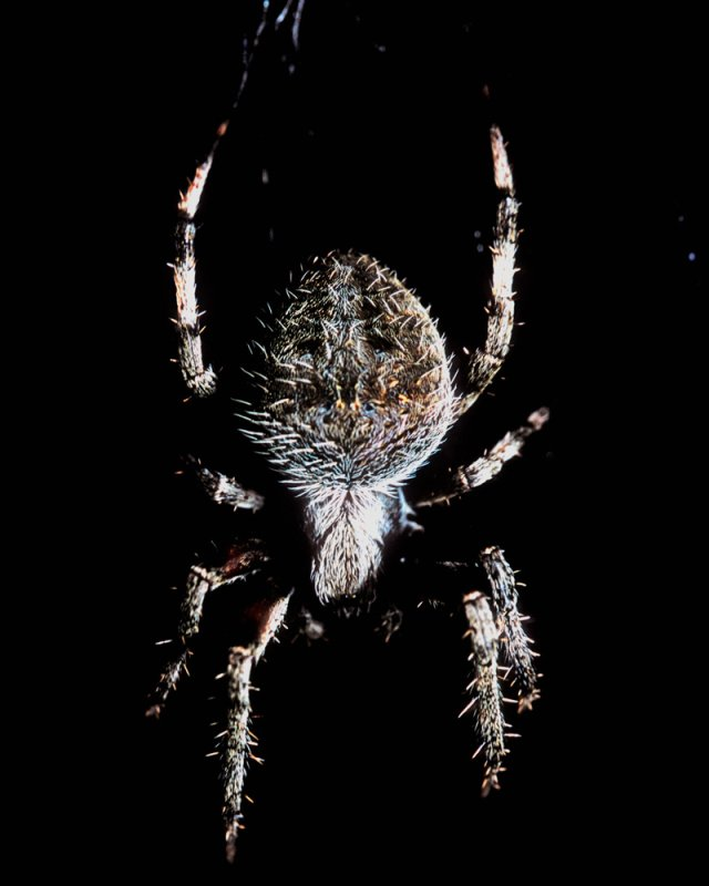 Hairy is the Spider