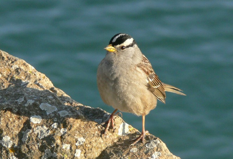 White-Crowned Sparrow - Gambelii