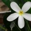 Beautiful White Flower (Frangipani) in our Building