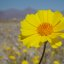 Death Valley Flowers 03