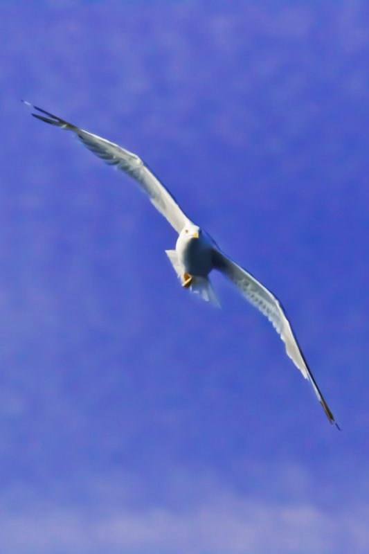 Seagull Flying from Keramoti to Limenas