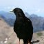 Alpine Chough, Schilthorn, Switzerland