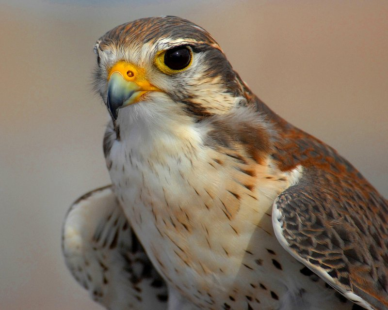 Peregrine Falcon, the mascot for the U.S. Air Force Academy in Colorado Springs, CO