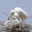 (4 of 9) Great Egret Chicks in Nest w/ Parent