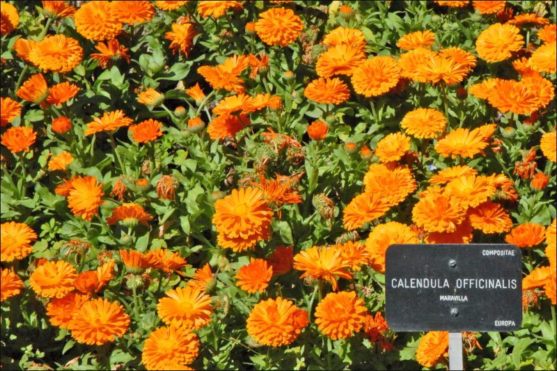 Calendula Officinalis (Real Jardin Botanico, Madrid)