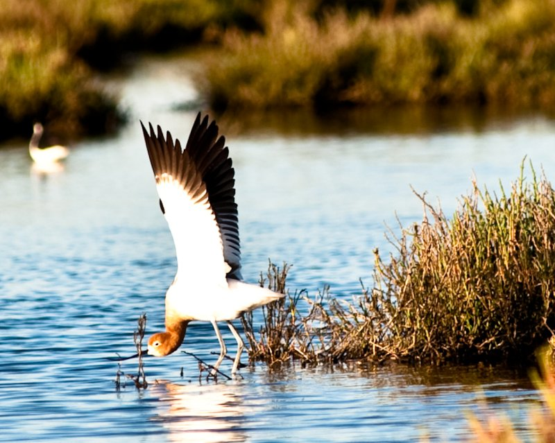 American Avocet with wings unfurled near the Duck Pond at the Palo Alto Baylands