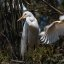 6 of 6 Great Egret (Ardea alba) nest with three chicks at the Morro Bay Heron Rookery