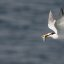 Elegant Tern (Thalasseus elegans) with a fish in beak