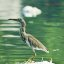 Indian Pond Heron 1